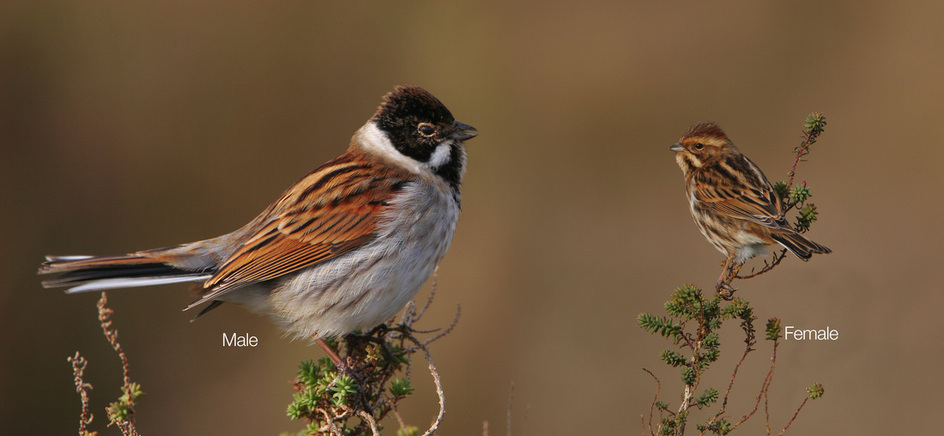 Reed Bunting John Betts Photography